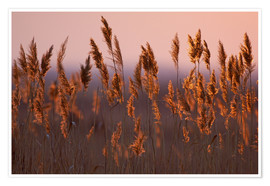 Póster Reeds in dawn