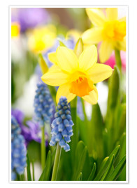 Póster Daffodils, Easter flowers, Easter bells, grape hyacinths, onion plants