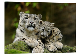 Metacrilato  Mother with pups, Irbisse - David & Micha Sheldon