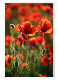 Póster Poppy field