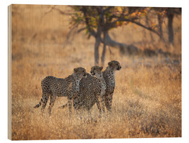 Madera  A group of Cheetah, Acinonyx jubatus, on the lookout for a nearby leopard in Namibia's Etosha N - Alex Saberi