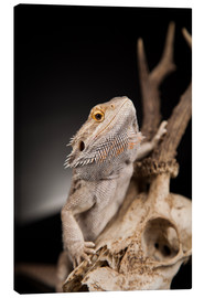 Lienzo  Bearded dragon climbs