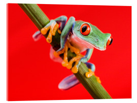 Cuadro de metacrilato  Tree frog on red