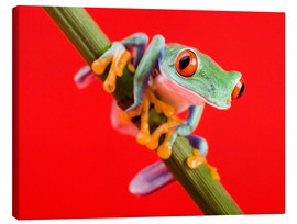 Lienzo  Tree frog on red