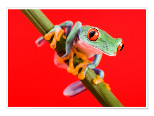 Póster Tree frog on red