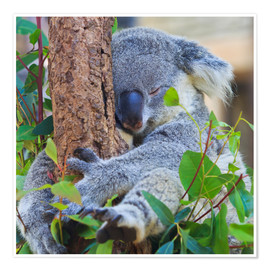 Koala hugging tree