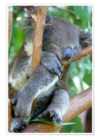 Póster  Sleeping koala