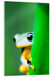 Cuadro de metacrilato  yellow tree frog