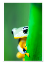 Póster  yellow tree frog