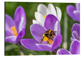 Aluminio-Dibond  Spring flower crocus and bumble-bee - Remco Gielen