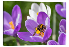 Lienzo  Spring flower crocus and bumble-bee - Remco Gielen