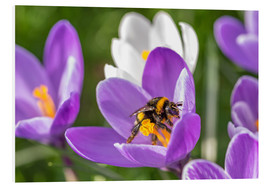 Cuadro de PVC  Spring flower crocus and bumble-bee - Remco Gielen