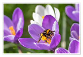Póster Spring flower crocus and bumble-bee