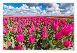 Póster Beautiful dutch Field of pink tulips