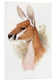 Cuadro de PVC  Kangaroo - Osphranter Rufus - English School