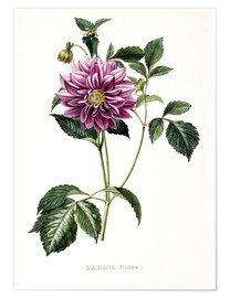 Póster  Dahlia Rosea - French School