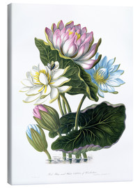 Lienzo  Red, Blue, and White Lotus, of Hindostan - James Forbes