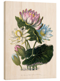 Cuadro de madera  Red, Blue, and White Lotus, of Hindostan - James Forbes