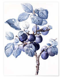 Póster Branch of a plum with fruits
