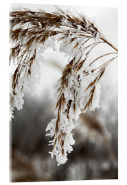 Cuadro de metacrilato  Cereal stalk covered with frost