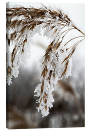 Lienzo  Cereal stalk covered with frost