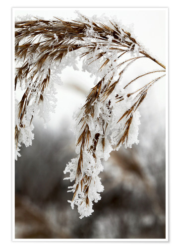 Póster Cereal stalk covered with frost