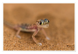Póster  Desert Gecko in the Namib desert - Circumnavigation