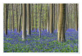 Póster Bluebells in the beech forest