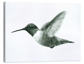 Lienzo  Ruby Throated Hummingbird Sketch - Ashley Verkamp