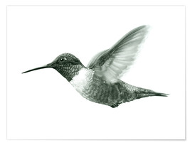 Póster Ruby Throated Hummingbird Sketch