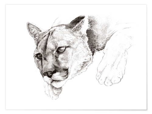 Póster Sketch Of A Captived Mountain Lion
