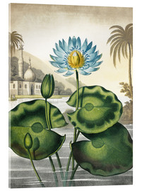 Cuadro de metacrilato  The blue Egyptian water-lily - Robert John Thornton