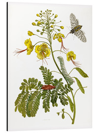 Maria Sibylla Merian - A moth and a caterpillar