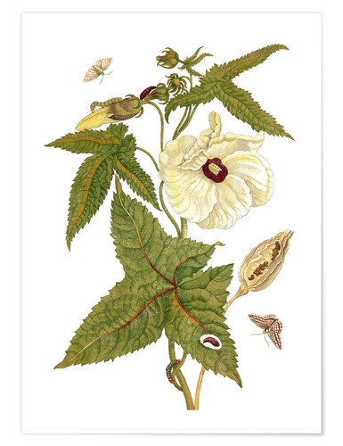 Póster musk plant with lepidoptera metamorphosis