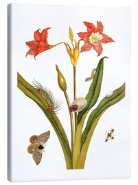 Lienzo  lily with lepidoptera metamorphosis - Maria Sibylla Merian