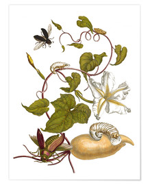 Póster  white potato with lepidoptera metamorphosis - Maria Sibylla Merian