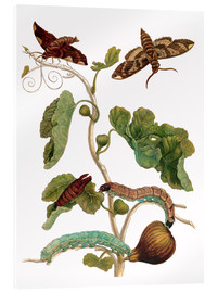 Cuadro de metacrilato  fig tree with lepidoptera metamorphosis - Maria Sibylla Merian