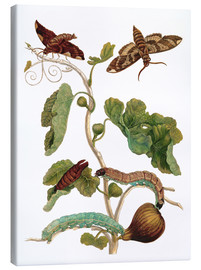 Lienzo  fig tree with lepidoptera metamorphosis - Maria Sibylla Merian