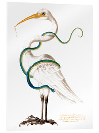 Cuadro de metacrilato  Heron encircled by a snake, with a worm in his bill - Maria Sibylla Merian