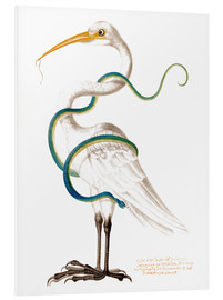 Cuadro de PVC  Heron encircled by a snake, with a worm in his bill - Maria Sibylla Merian