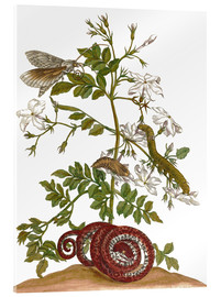 Metacrilato  jasmine with snake and lepidoptera metamorphosis - Maria Sibylla Merian