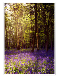 Póster Sunny bluebell wood