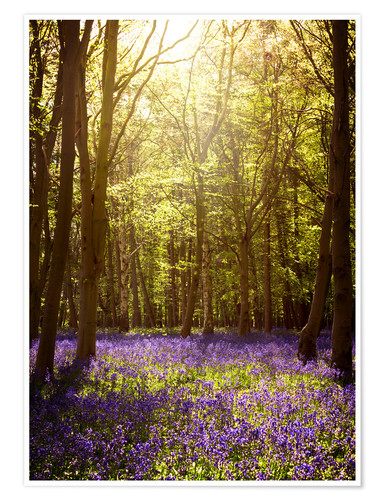 Póster Sunny forest with bluebells