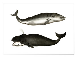 Póster Fin Whale