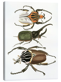Lienzo  Large and rare beetles - German School