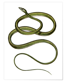 Póster Long-nosed Tree Snake