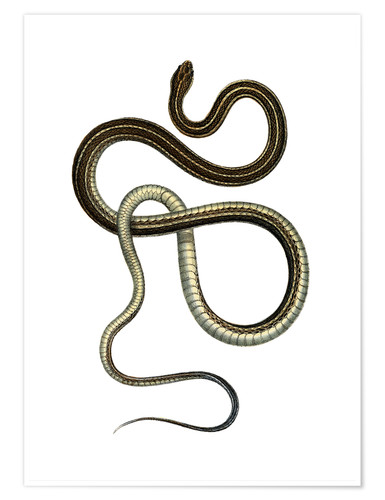 Póster Eastern Ribbonsnake