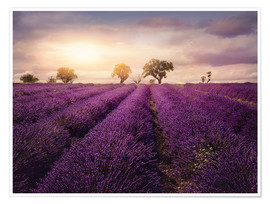 Póster Lavender field at sunset, Provence
