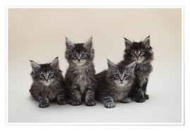 Póster Maine Coon Kittens 2