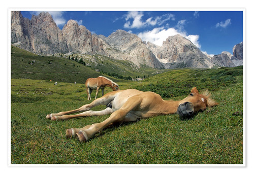 Póster Peacefully sleeping Haflinger foal on a mountain meadow